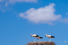 DSC_5262 (Gér@ld) Tags: tunisia nikon d7500 nature djebba stork cigogne bird