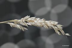 Grasähre vor Lichtkreisen (phototom12) Tags: gras grasähre ähre halm grashalm lichtkreise kreise licht
