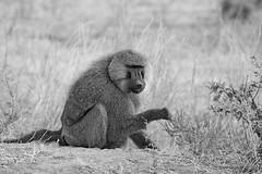 Baboon bw (ralf galloway) Tags: safari tanzania baboons