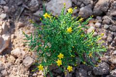 DSC_5253 (Gér@ld) Tags: tunisia nikon d7500 nature djebba plant flower