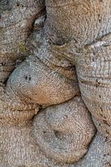 DSC_5193 (Gér@ld) Tags: tunisia nikon d7500 nature djebba bark fig tree