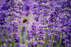 The Lavender Field (Nige H (Thanks for 20m views)) Tags: nature flower plant lavender bee insect purple macro closeup