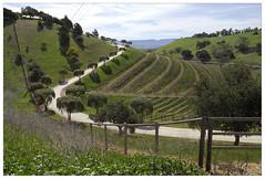 Los Olivos_0460 (Thomas Willard) Tags: landscape vinyard california vintner rolling wine vine grape olive driveway road tree hills foothills central herbs oak disagreeably bucolic hughes robert