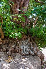DSC_5247 (Gér@ld) Tags: tunisia nikon d7500 nature djebba tree