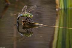 Emperor Dragonfly (PedroLanders) Tags: okehampton devon meeth devonwildlifetrust meethquarry dragonfly odonata