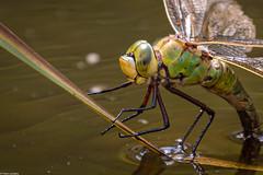 Emperor Dragonfly - Detail (PedroLanders) Tags: okehampton devon meeth devonwildlifetrust meethquarry dragonfly odonata