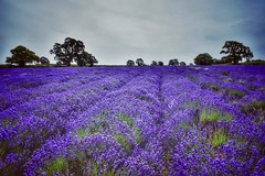 Somerset Lavender Farm (Nige H (Thanks for 25m views)) Tags: nature landscape lavender lavenderfarm somerset somersetlavenderfarm england purple trees field lavenderfield