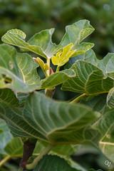 DSC_5215 (Gér@ld) Tags: tunisia nikon d7500 nature djebba fig tree