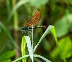 P1910941-Blauflügel-Prachtlibelle Weibchen (Bine&Minka2007) Tags: libelle insekten dragonfly