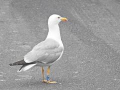 Larus michahellis (ZéMarks) Tags: bm148 ringeuropelarusmichahellis larusmichahellis yellowleggedgull goélandleucophée gaviotapatiamarilla gaivotadepatasamarelas gulls matosinhos