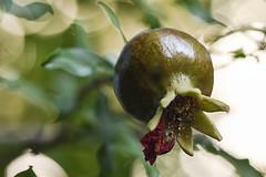 Pomegranate: Trasformanion of the flower into Fruit (pasquale di marzo) Tags: melograno trasformazione fiore frutta esterno colore macro luglio 2019