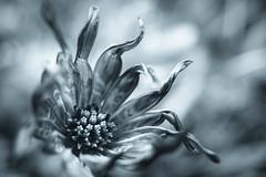 the end of daisy (Simon[L]) Tags: daisy end monochrome olympusom24mmf28 flower extensiontube