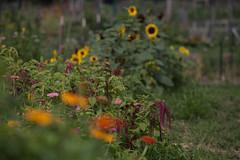 TroyFarmWeek7-036 (troycommunityfarmwi) Tags: communitygroundworks csa communitysupportedagriculture community wisconsin wicsafarm farm farming madisoncsa farmforyoursupper organicfarming wi organic