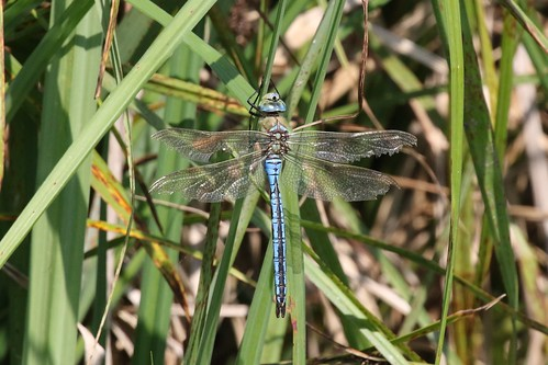 Emperor Dragonfly ~ Anax imperator ~ Baconsthorpe Castle (1)