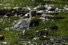 Heron Watch June 2019 234 (Mark Schofield @ JB Schofield) Tags: grey heron river colne colnevalley huddersfield animals bird wildlife