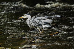 Heron Watch June 2019 230 (Mark Schofield @ JB Schofield) Tags: grey heron river colne colnevalley huddersfield animals bird wildlife