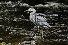 Heron Watch June 2019 229 (Mark Schofield @ JB Schofield) Tags: grey heron river colne colnevalley huddersfield animals bird wildlife