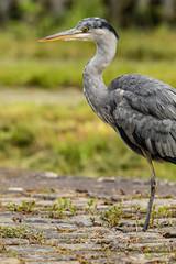 Heron Watch June 2019 157 (Mark Schofield @ JB Schofield) Tags: grey heron river colne colnevalley huddersfield animals bird wildlife