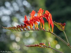 Bursting forth (_Jon Benham_) Tags: green flower buds crocosmia garden red orange bokeh backlit backlight droplets drops starburst fujifilmxt3 summer uk england