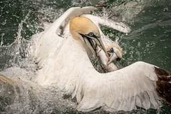 Feeding Gannets (Spenner_BFC) Tags: gannets bemptoncliffs birds nature wildlife nikon nikond7500 seabirds