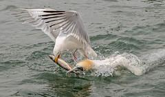 Tug of War (Spenner_BFC) Tags: gannets bemptoncliffs birds nature wildlife nikon nikond7500 seabirds