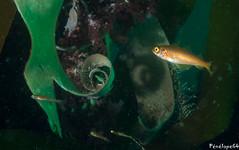 Lieu juvénile (penelope64) Tags: plongéesousmarine plongée dive bretagne brittany finistère ouessant mer merdiroise olympusem5 sousmarin fisheye panasonic8mmfisheye