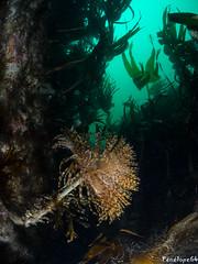 Spirographe (penelope64) Tags: plongéesousmarine plongée dive bretagne brittany finistère ouessant mer merdiroise olympusem5 sousmarin fisheye panasonic8mmfisheye