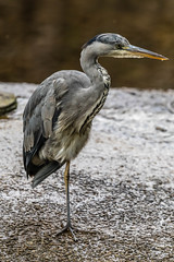 Heron Watch June 2019 130 (Mark Schofield @ JB Schofield) Tags: grey heron river colne colnevalley huddersfield animals bird wildlife