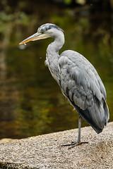 Heron Watch June 2019 107 (Mark Schofield @ JB Schofield) Tags: grey heron river colne colnevalley huddersfield animals bird wildlife