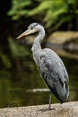 Heron Watch June 2019 105 (Mark Schofield @ JB Schofield) Tags: grey heron river colne colnevalley huddersfield animals bird wildlife