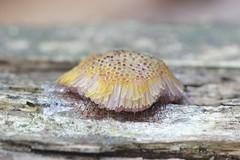 Rentoaumanen - Symphytocarpus flaccidus - Slime mold (Henri Koskinen) Tags: symphytocarpus flaccidus slime mold finland sipoo 04072019 rentoaumanen limasieni