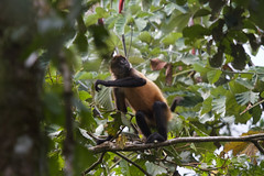 Geoffroy's spider monkey (Byron Taylor) Tags: spider monkey spidermonkey wildlife nature mammals wildlifephotography canon canon7d costarica arenal