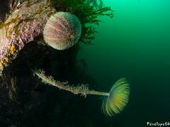Spiro (penelope64) Tags: plongéesousmarine plongée dive bretagne brittany finistère ouessant mer merdiroise olympusem5 sousmarin fisheye panasonic8mmfisheye