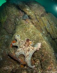 Poulpe (penelope64) Tags: plongéesousmarine plongée dive bretagne brittany finistère ouessant mer merdiroise olympusem5 sousmarin fisheye panasonic8mmfisheye