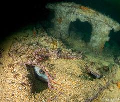 Poulpes dans l'épave du Vesper (penelope64) Tags: plongéesousmarine plongée dive bretagne brittany finistère ouessant mer merdiroise olympusem5 sousmarin fisheye panasonic8mmfisheye