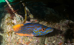 Coquette mâle (penelope64) Tags: plongéesousmarine plongée dive bretagne brittany finistère ouessant mer merdiroise olympusem5 sousmarin fisheye panasonic8mmfisheye