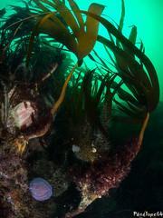 Paysage (penelope64) Tags: plongéesousmarine plongée dive bretagne brittany finistère ouessant mer merdiroise olympusem5 sousmarin fisheye panasonic8mmfisheye