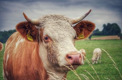 the king (***étoile filante***) Tags: cow kuh bull bulle animal tier hdr natur nature wiese meadow weide pasture