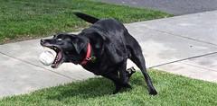 CENTRE FIELDER, ACA PHOTO (alexanderrmarkovic) Tags: blacklab jazz retriever acaphoto pet dog