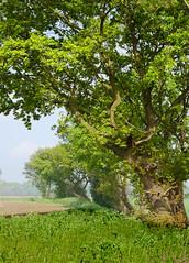 Summer Starts Here (A.Leighton Photography) Tags: landscapes countryside landscape farmland farming tree rural summer oak uk england yorkshire nikon d5100