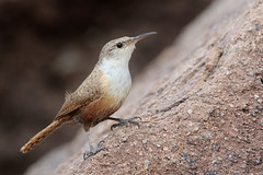 Canyon Wren (Greg Lavaty Photography) Tags: canyonwren catherpesmexicanus texas july southllanoriver statepark kimblecounty birdphotography outdoors bird nature wildlife