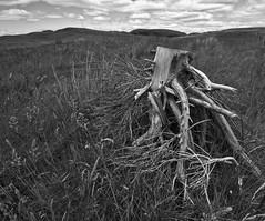 Dead Trunk at Little Duncolm (goatsgreetings) Tags: duncolm dunbartonshire kilpatrick hills scotland nature green dead tree trunk