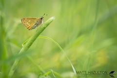 Large skipper (Matt Hazleton) Tags: skipper largeskipper butterfly fermynwoods fermyn nature animal wildlife insect outdoor canon canoneos7dmk2 canon100mm 100mm eos 7dmk2 matthazleton matthazphoto northamptonshire ochlodessylvanus