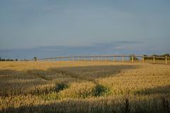 The wheat has ripened (frankmh) Tags: wheat field hittarp skåne sweden