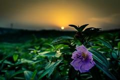 A Serene Sunset (doctor.atif) Tags: sunset flower hills jungle sony a7iii tamron 2875 f28 landscape nature closeup sust shahjalal university science technology bangladesh sylhet beautiful sonyalpha7markiii tamron2875f28diiiirxd national coth5 outside alpha sonya7iii sky design blue art light dark