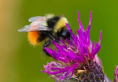 Mountain Bumblebee - Bombus monticola-1 (ianrobertcole1971) Tags: invertebrates pollinator insect bug macro nikon nature wildlife mountain bumblebee bombus monticola1