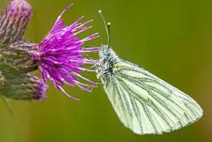 Green veined white butterfly - Pieris napi (ianrobertcole1971) Tags: invertebrates pollinator insect bug macro nikon nature wildlife green veined white butterfly pieris napi