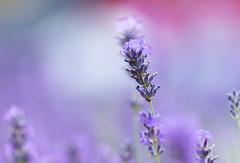 Purple haze... (Gerry Gutteridge) Tags: ©gerrygutteridge canon lavender purple abstract single one