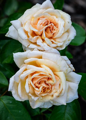 Apricots n' Cream - hybrid tea rose (bfluegie) Tags: rose roses lakesidepark flower flowers bloom petals