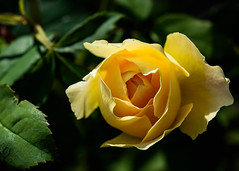Opening up - Yellow rose (bfluegie) Tags: rose roses lakesidepark flower flowers bloom petals yellow